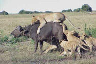Man Eaters of Tsavo